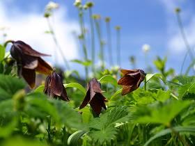 お花畑に咲いていたクロユリ