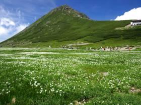 お花畑に咲いているハクサンイチゲ