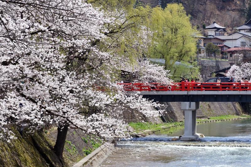 中橋の桜(飛騨高山)