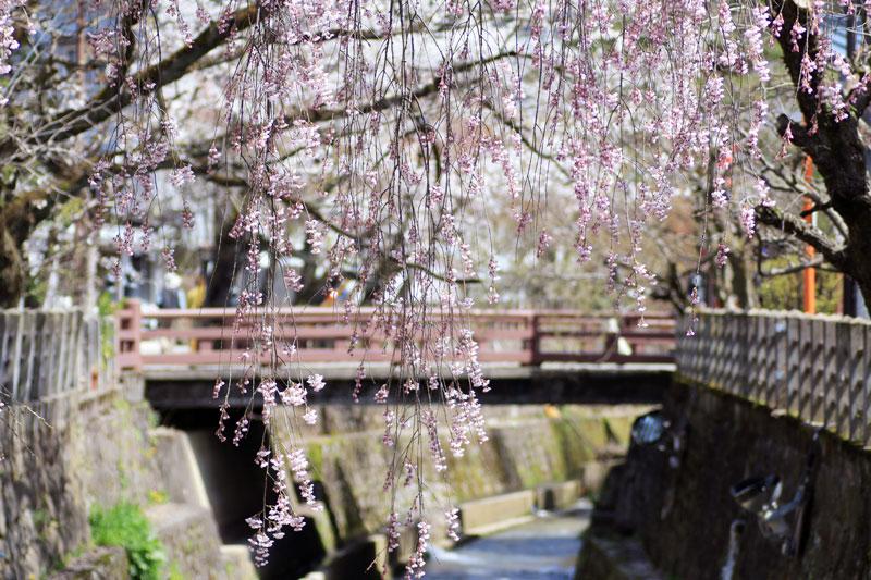 江名子川沿いの桜
