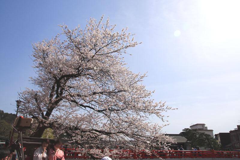 中橋周辺の桜 飛騨高山