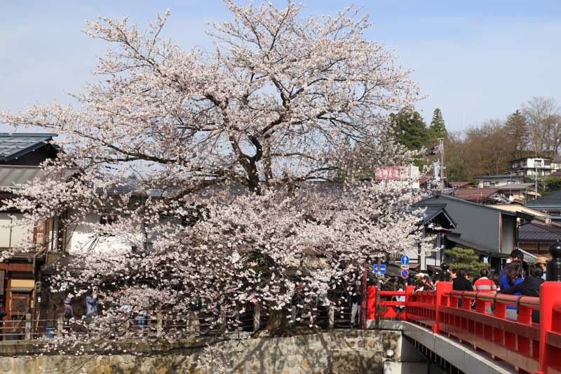 飛騨高山 中橋周辺の桜