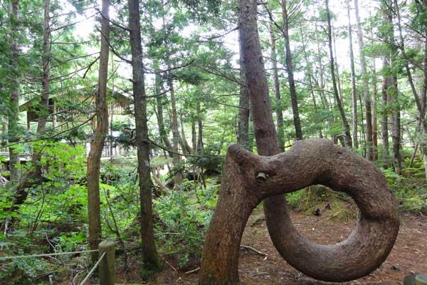 幹が一回転しているゴヨウマツ 牛留池 ネジネジの木