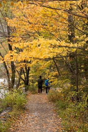 遊歩道には、黄葉の落ち葉がびっしり。